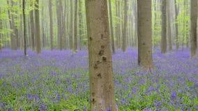 Bosque de la campanilla almacen de video