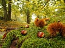 Bosque de la castaña en otoño en Suiza foto de archivo libre de regalías