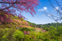Bosque de la flor de cerezo de Sakura Foto de archivo libre de regalías