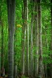 Bosque de la haya Fotografía de archivo