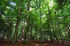 Bosque de la haya Imagen de archivo libre de regalías
