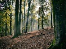 Bosque de la haya Imágenes de archivo libres de regalías
