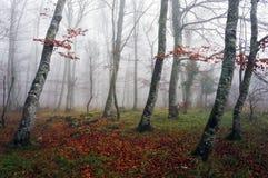 Bosque de la haya con niebla fotos de archivo