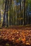 Bosque de la haya del otoño Imagen de archivo