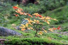 Bosque de la haya del otoño Fotografía de archivo