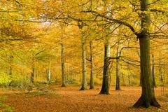 Bosque de la haya en follaje de oro Fotografía de archivo libre de regalías