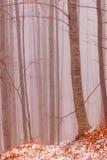 Bosque de la haya en la niebla Imágenes de archivo libres de regalías