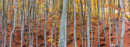 Bosque de la haya en otoño Imagenes de archivo