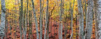 Bosque de la haya en otoño Fotografía de archivo libre de regalías
