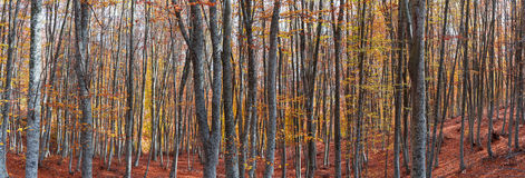Bosque de la haya en otoño Fotografía de archivo