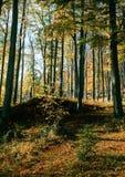Bosque de la haya en otoño imagen de archivo