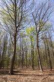 Bosque de la haya en primavera cerca de Hilversum en los Países Bajos en sunn fotos de archivo libres de regalías