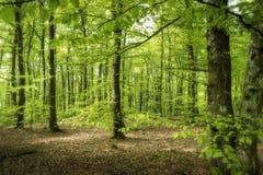 Bosque de la haya en primavera soleada imagenes de archivo