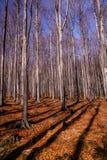 Bosque de la haya en la primavera temprana fotos de archivo