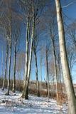 Bosque de la haya (Fagus) el invierno Foto de archivo libre de regalías
