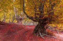 Bosque de la haya por mañana del otoño después de la lluvia cubierta con niebla Foto de archivo