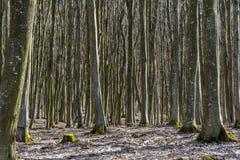 Bosque de la haya sin las hojas en primavera temprana en montañas cárpatas Foto de archivo