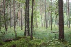 Bosque de la mañana Fotos de archivo