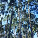 Bosque de la madera de pino Fotos de archivo