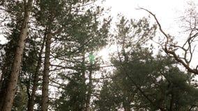 Bosque de la monta?a con los ?rboles de pino que crecen en la colina metrajes
