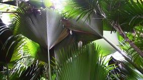 Bosque de la palma de la reserva de naturaleza en Vallee del Mai, Seychelles, isla de Praslin almacen de video