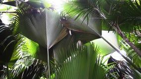 Bosque de la palma de la reserva de naturaleza en Vallee del Mai, Seychelles, isla de Praslin metrajes