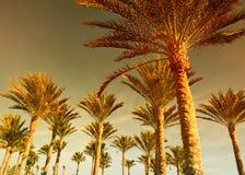 Bosque de la palma en la puesta del sol Imágenes de archivo libres de regalías