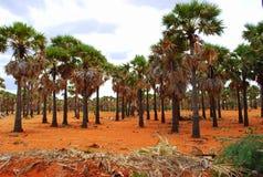 Bosque de la palmera Foto de archivo libre de regalías