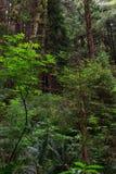 Bosque de la picea de Sitka Imagen de archivo libre de regalías
