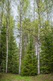 Bosque de la primavera con los abedules y los abetos Fotos de archivo libres de regalías