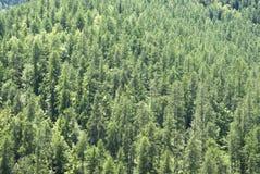 Bosque de la primavera con los alerces, las piceas y los pinos Fotografía de archivo
