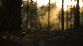 Bosque de la salida del sol, pinos en el mar de la puesta del sol almacen de metraje de vídeo