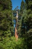 Bosque de la secoya Foto de archivo