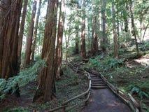 Bosque de la secoya Foto de archivo libre de regalías