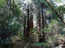 Bosque de la secoya Fotografía de archivo libre de regalías