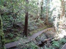 Bosque de la secoya Fotografía de archivo