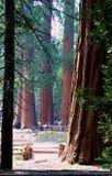 Bosque de la secoya Imagen de archivo libre de regalías