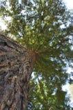 Bosque de la secoya, California Foto de archivo