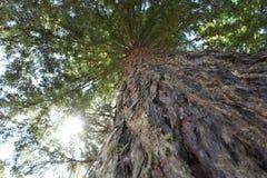 Bosque de la secoya, California Imagen de archivo libre de regalías