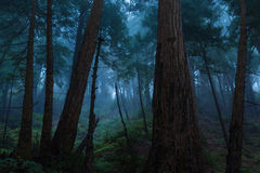 Bosque de la secoya de Big Sur Imagen de archivo