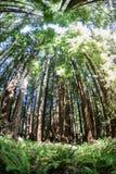 Bosque de la secoya de California Foto de archivo libre de regalías