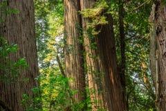 Bosque de la secoya de costa Imágenes de archivo libres de regalías