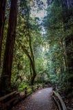 Bosque de la secoya en California Foto de archivo libre de regalías