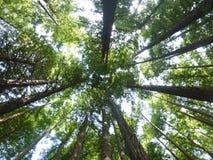 Bosque de la secoya en Cantabria Fotografía de archivo