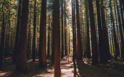 Bosque de la secoya - Rotorua fotografía de archivo libre de regalías