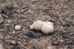 Bosque de la seta en la tierra Es la cadena alimentaria o Fotografía de archivo