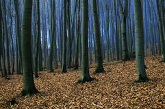 Bosque de las hayas Foto de archivo libre de regalías