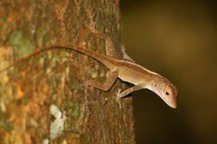 Bosque de las Islas Vírgenes del lagarto de Anole Fotografía de archivo libre de regalías