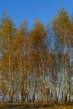 Bosque de los árboles de abedul con las hojas de otoño de oro Fotos de archivo