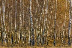 Bosque de los árboles de abedul con las hojas de otoño de oro Fotos de archivo libres de regalías